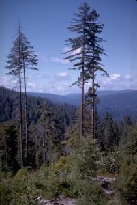 Redwoods, Courtesy National Park Service