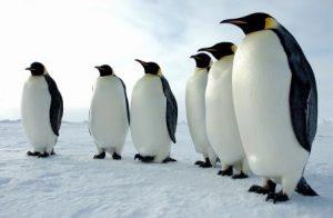 Equal means not special. Emperor penguins. Glenn Grant, National Science Foundation.