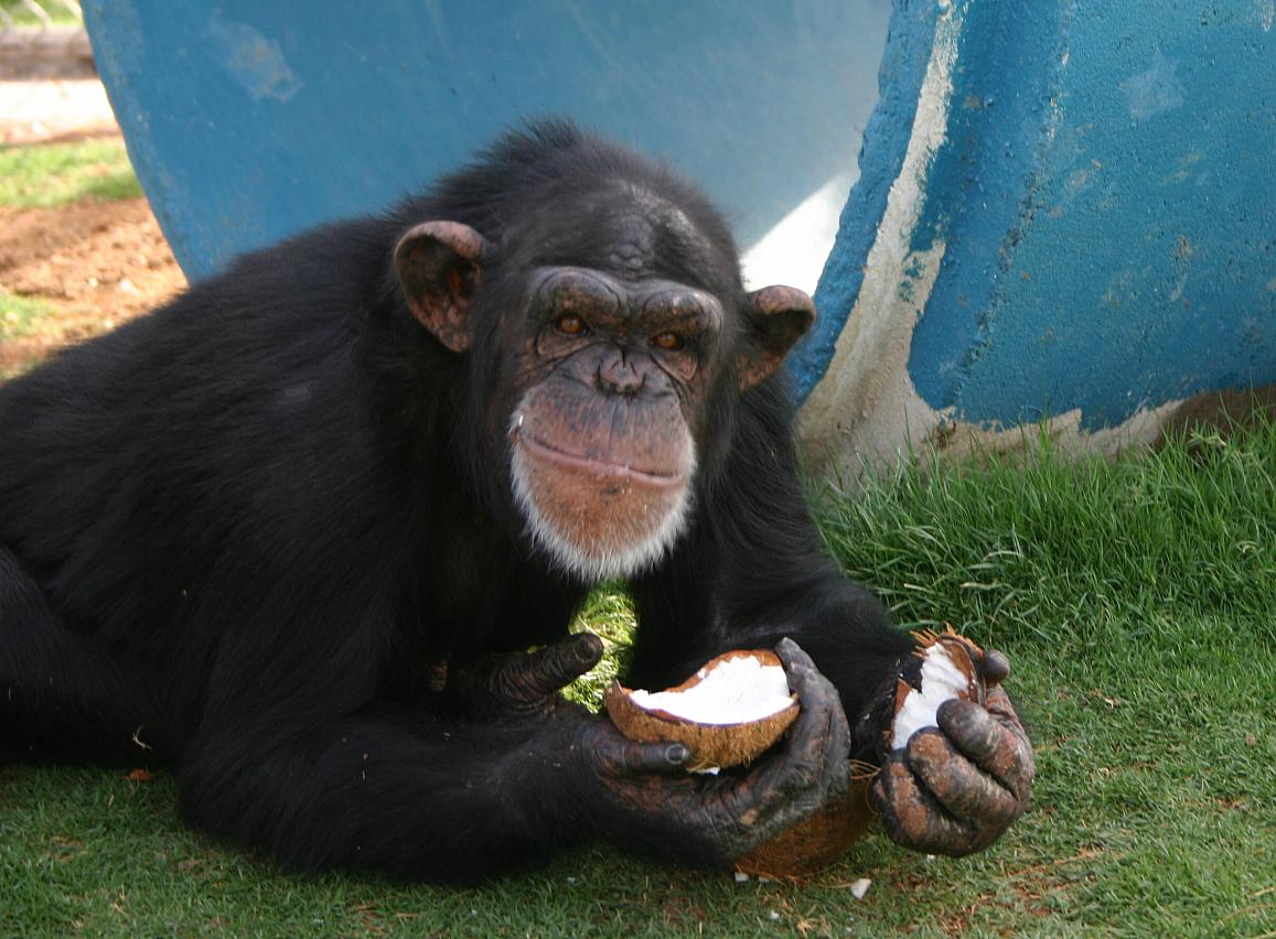 Chimpanzee photo: how Democrats see our bad president.