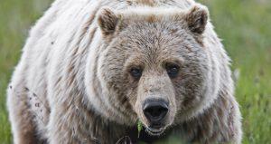 Bear. NPS Photo by Ken Conger.
