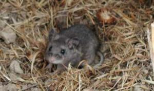 Deer mouse, a hantavirus carrier. NPS Photo.